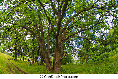 Russian landscape green oak forest old branches broad nature...