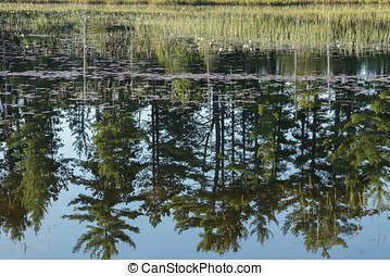 Pine Tree Reflection - White Pine trees are reflected in the...