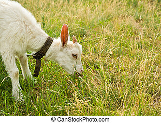 The goat eating grass