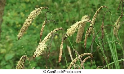 Carex pendula or Hanging sedge, drooping sedge, Pendulous...