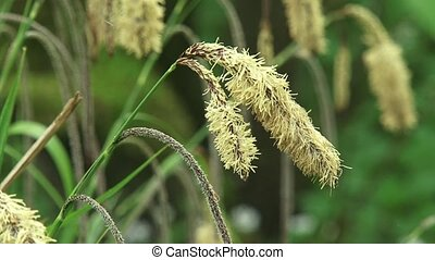 Bloom spikes of Carex pendula or Hanging sedge - close up -...