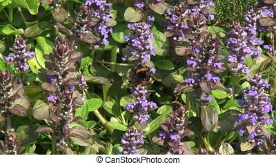 Bumblebee feeding on carpet bugleweed Ajuga reptans