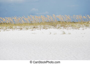 Sea Oats under a Blue Sky - Sea Oat Uniola paniculata under...