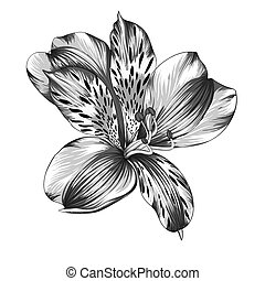 black and white Alstroemeria flower - beautiful monochrome,...