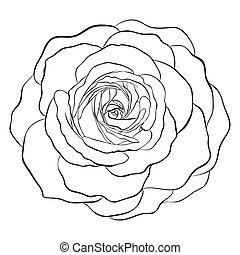 black and white rose isolated