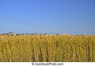 Housing development invades wheat - A heavy stand of...