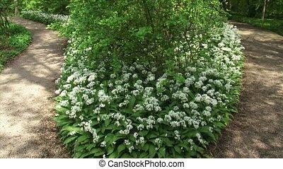 Ramsons, Allium ursinum blooming along footpath + pan