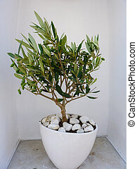 Decorative olive tree - Little decorative olive tree in...