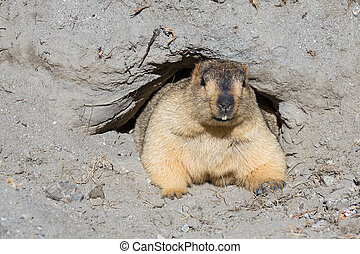 Funny marmot peeking out of a burrow, India - Funny marmot...