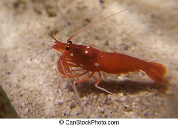 Red shrimp - Shrimp are swimming, decapod crustaceans...