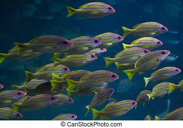 he bluestripe snappers - The bluestripe snapper, Lutjanus...