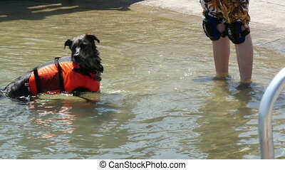 Training of a rescue dog. Dog picks thrown ball out of water