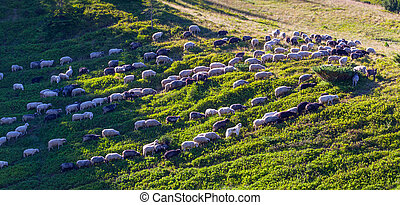 flock of sheep on green grass - The flock of sheep on green...