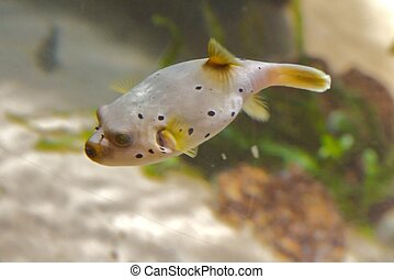 Puffer fish are the second most poisonous vertebrate in the...