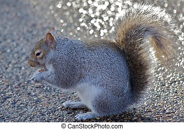 Eastern Gray Squirrel Sciurus carolinensis, or the Grey...