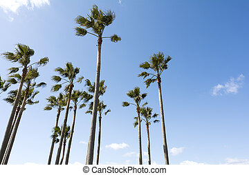 Washingtonia robusta trees - Close up arranged washingtonia...