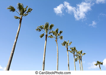 Washingtonia robusta trees - Lined washingtonia robusta...