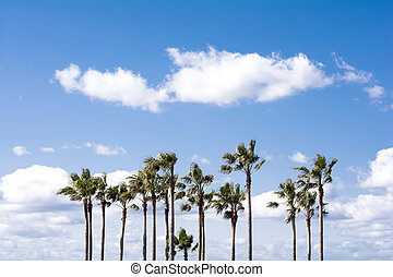 Washingtonia robusta trees - Arranged washingtonia robusta...