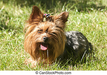 Female Yorkshire terrier dog on green lawn closeup