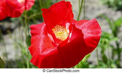 Flower of red poppy - Flower red poppy swaying the wind...