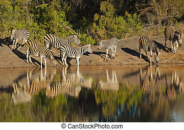Plains Zebras drinking water - Plains Zebras Equus burchelli...