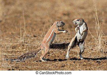 Playing ground squirrels - Two ground squirrels Xerus...