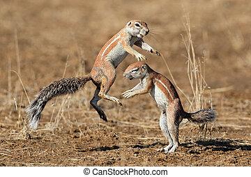 Playing ground squirrels - Two ground squirrels (Xerus...