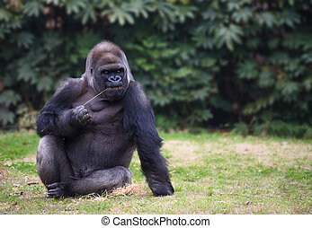 Gorilla sitting on a grass - Gorilla with gloomy expression...