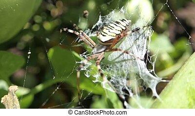 Wasp spider - A wasp spider