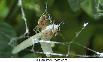 Spider paralyzing the wings of prey - A spider paralyzing...