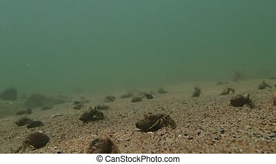 Hermit crabs invasion - Many hermit crabs in the sea