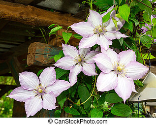 clematis flowers. flora - decorative curly clematis flowers....
