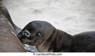 Baby Sea Lion Feeding - Galapagos sea lion feeding on...