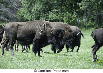buffalo in a field during summer with coat shedding