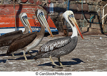 Pelicans on the Dockside - Peruvian Pelicans Pelecanus...