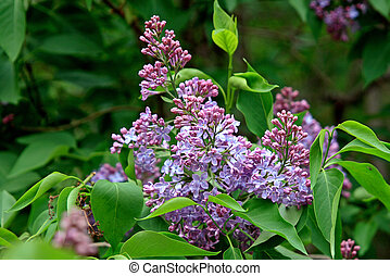 Blossoming lilac - Branch of a blossoming lilac in a frame...