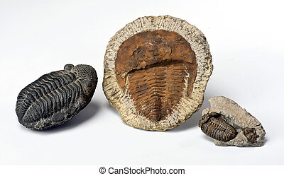 Cambrian Period Trilobites. - 500 million years old Cambrian...