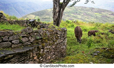 Llama and Ruins - Two llamas at the ruins of Kuelap, Peru in...