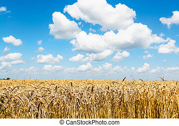 rural landscape with ears of ripe wheat in field