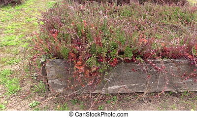 cranberry berry plant - Cranberry mossberry berry plants...