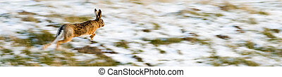 running hare - Hare running over a frozen and partially snow...