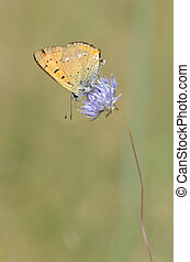 Scarce copper - Lycaena virgaureae