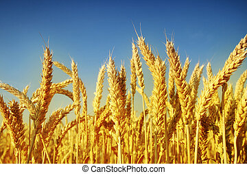 Wheat - Golden wheat vs dark blue sky