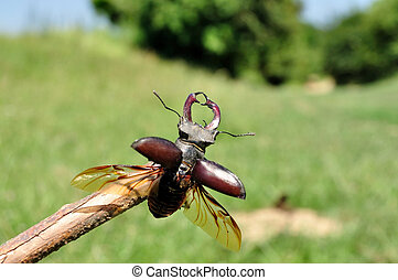 Stag Beetle - A stag-beetle is about to fly up from a tree....