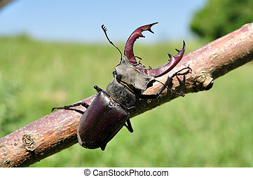 Stag Beetle - A stag-beetle crawls on the tribe of a tree