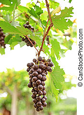bunches of ripe red wine grapes