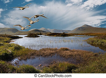 Flight over Rannoch Moor - Whooper Swans fly over Rannoch...