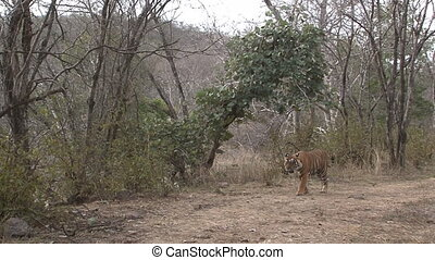Bengal Tiger in dry forest - Bengal Tiger (Panthera tigris...