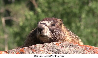 Yellow-bellied Marmot - a yellow-bellied marmot on a rock in...