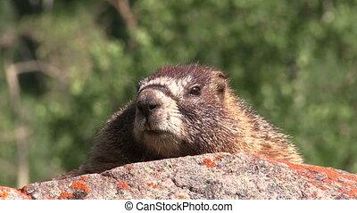 Yellow-bellied Marmot - a yellow-bellied marmot on a rock in...
